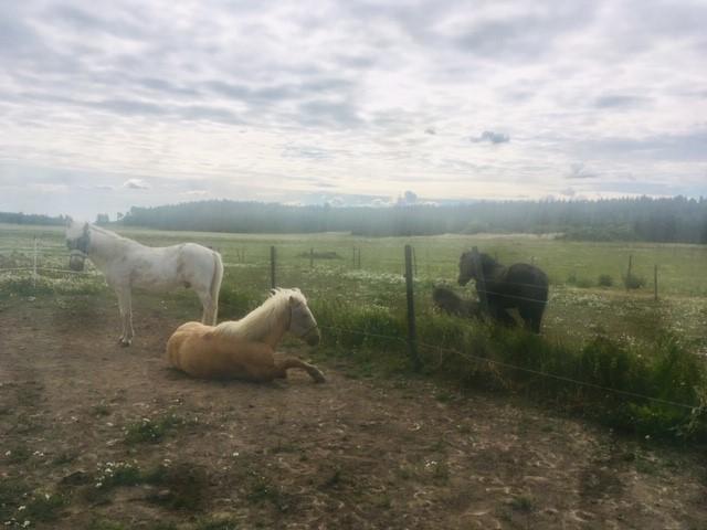 liggande hästar